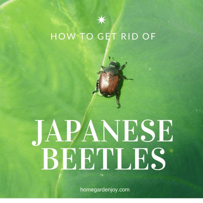 get rid of Japanese beetles mf photo