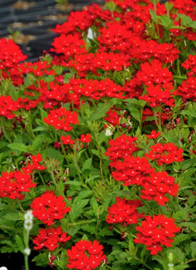 butterfly attracting perennials_Verbena_peruviana_red_devil_CC