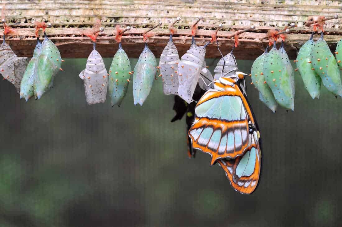 group of colorful cocoons for caterpillar and cocoon identification