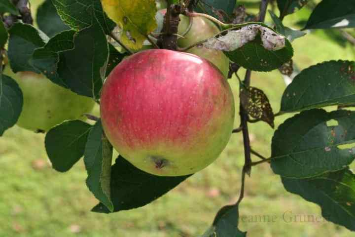 a picture of organic iapples