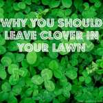 Why You Should Leave Clover in the Lawn