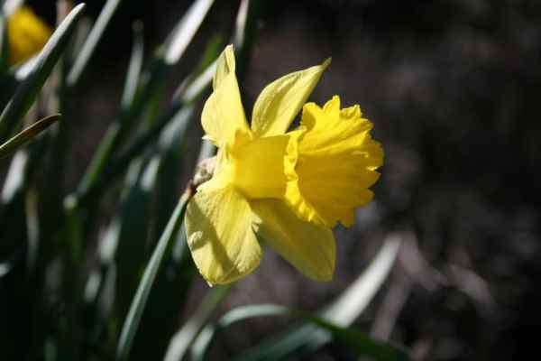 daffodil March 2016