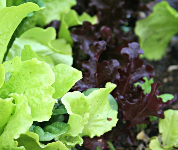 lettuce red and green