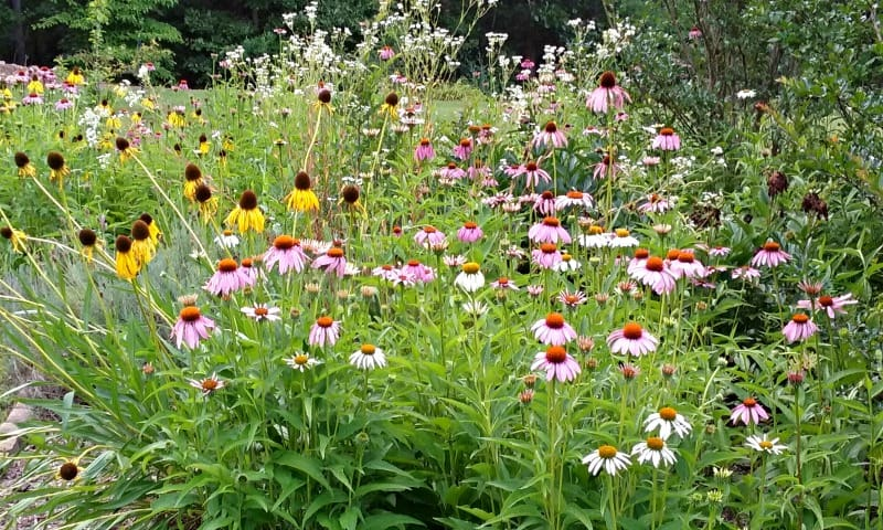 photo of growing echinacea in a field