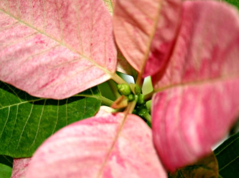 get a poinsettia to bloom