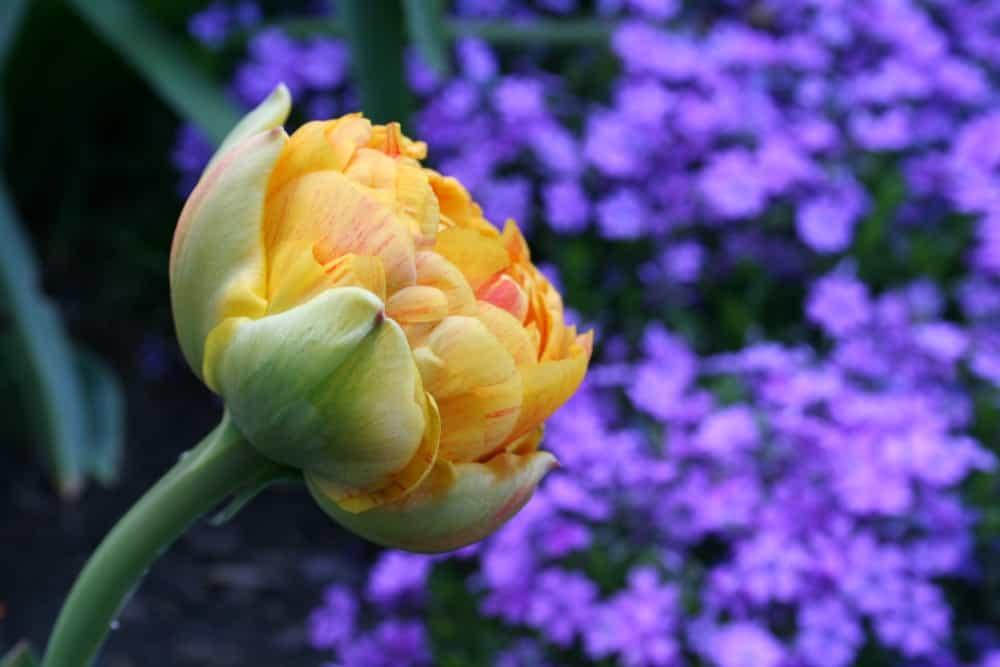 double flowering tulip