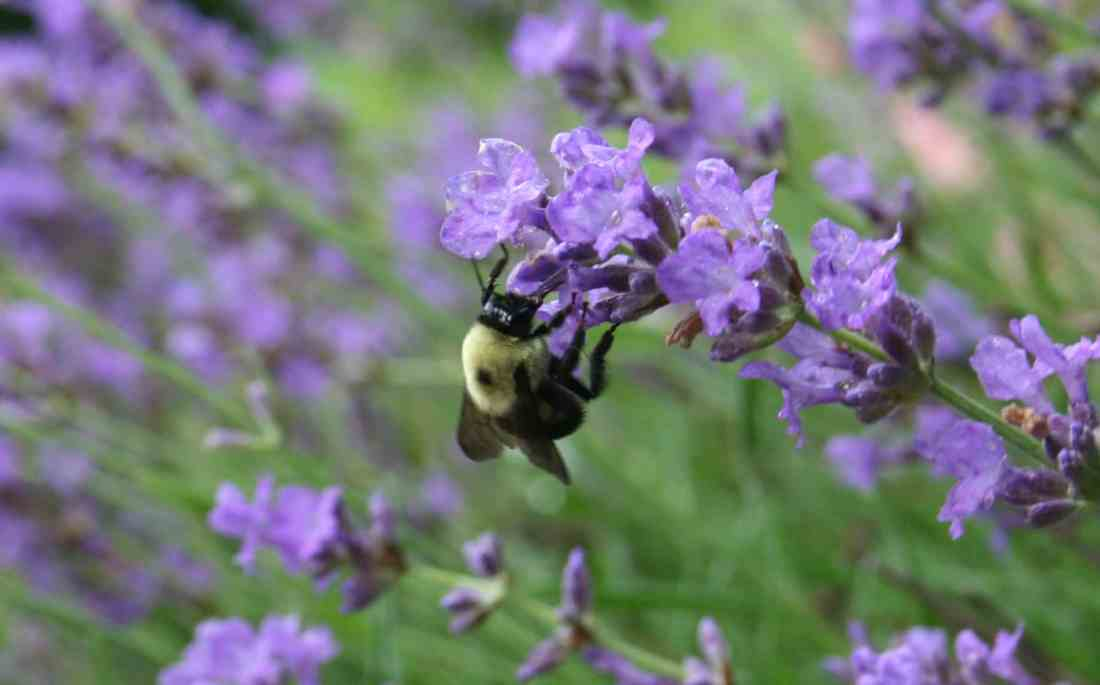pollinating insect at work - picture of bee on lavender