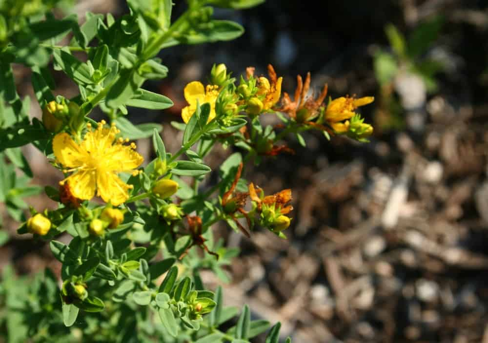 growing st johns wort