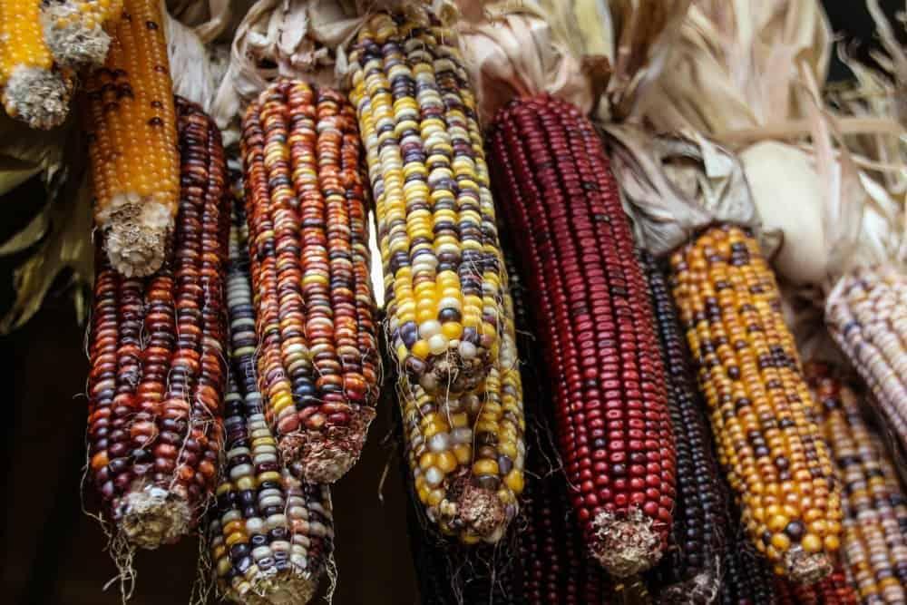 flint corn picture