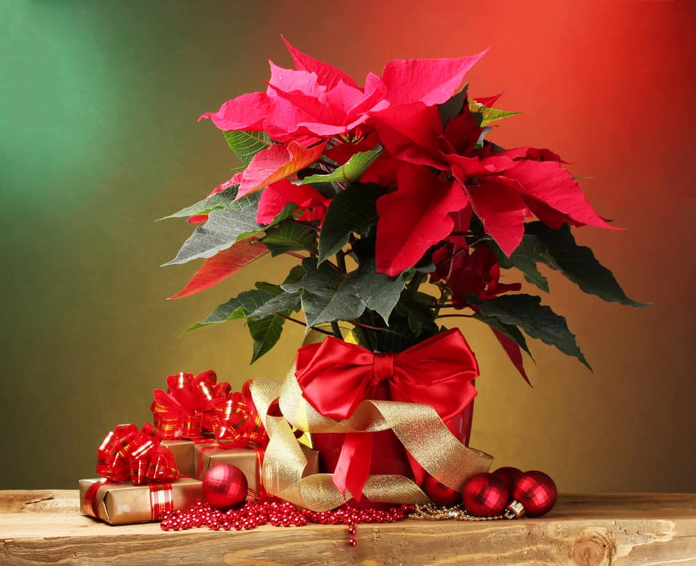 Christmas poinsettia picture