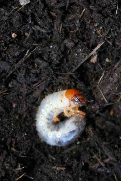 Japanese beetle grub identification