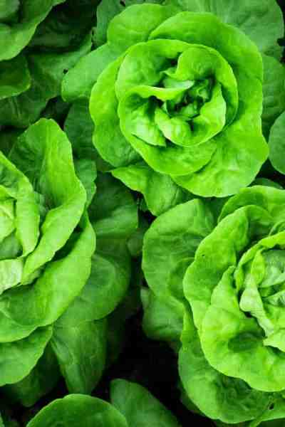 photo of buttercrunch lettuce
