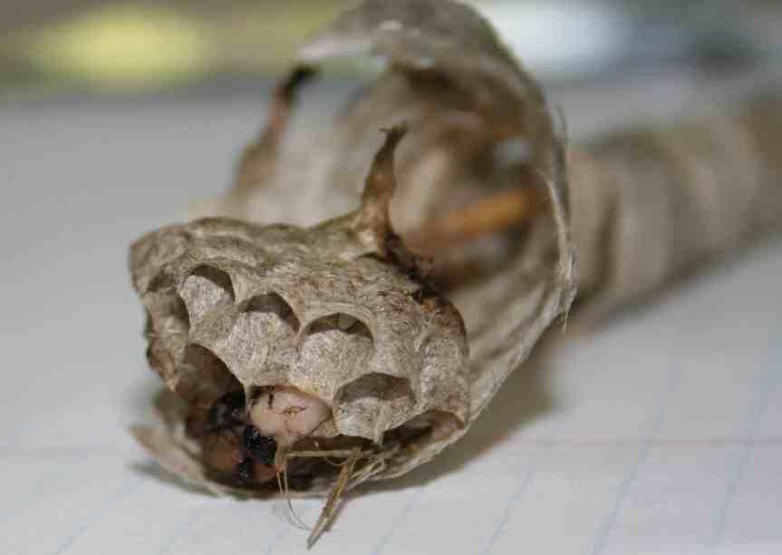 egg chamber of bald faced hornet