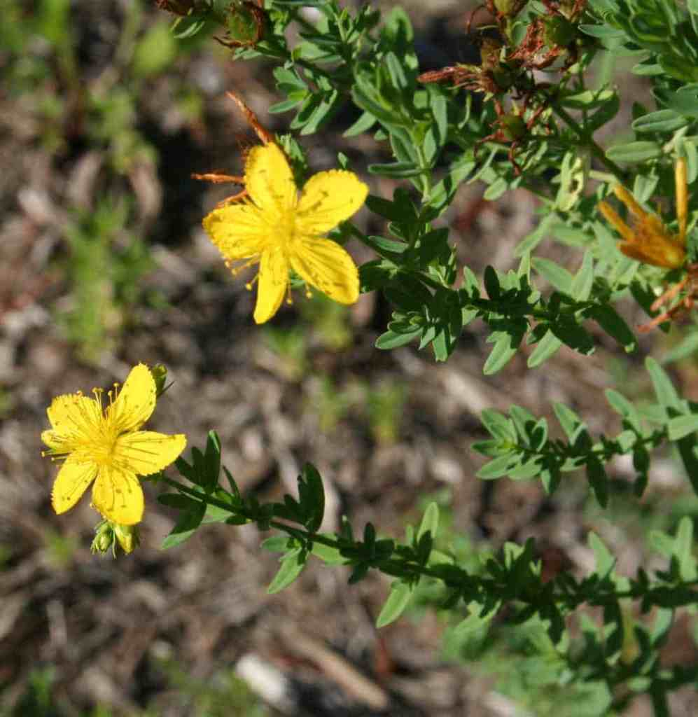 picture of St. John's wort plant
