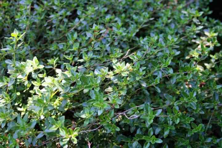 a closeup of thyme plants in a garden