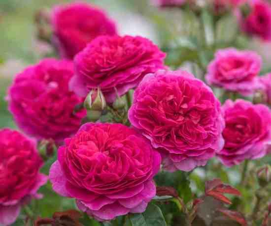 David Austin English Rose 'Gabriel Oak'