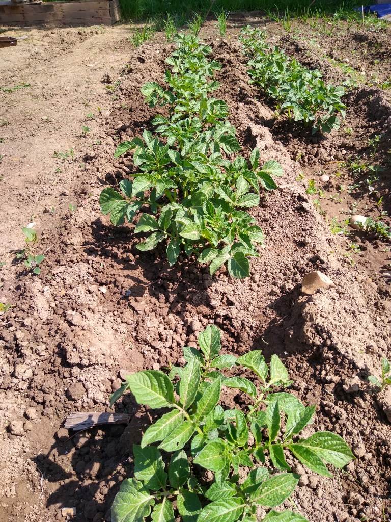 potatoes ready to be earthed up