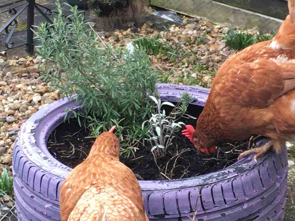 best herbs for chickens can make them too tempting