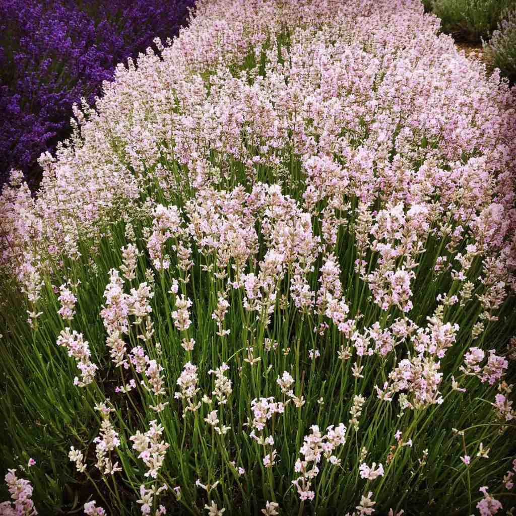 some of the best herbs for pollinators and for relaxation later