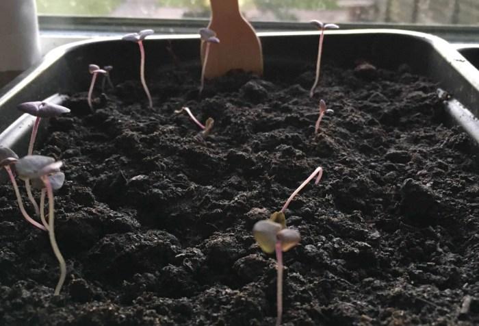leggy red basil seedlings