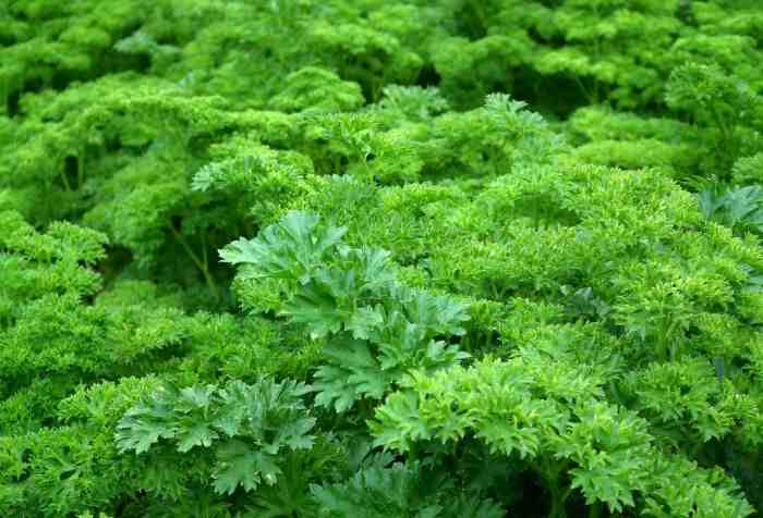 Parsley one of the best herbs ever