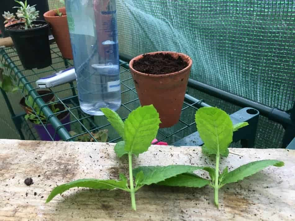 Everything you need to propagate mint from cuttings