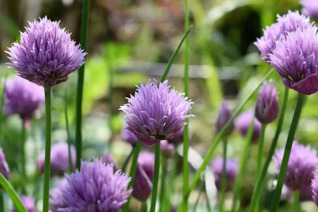 perennial herbs that enjoy partial shade