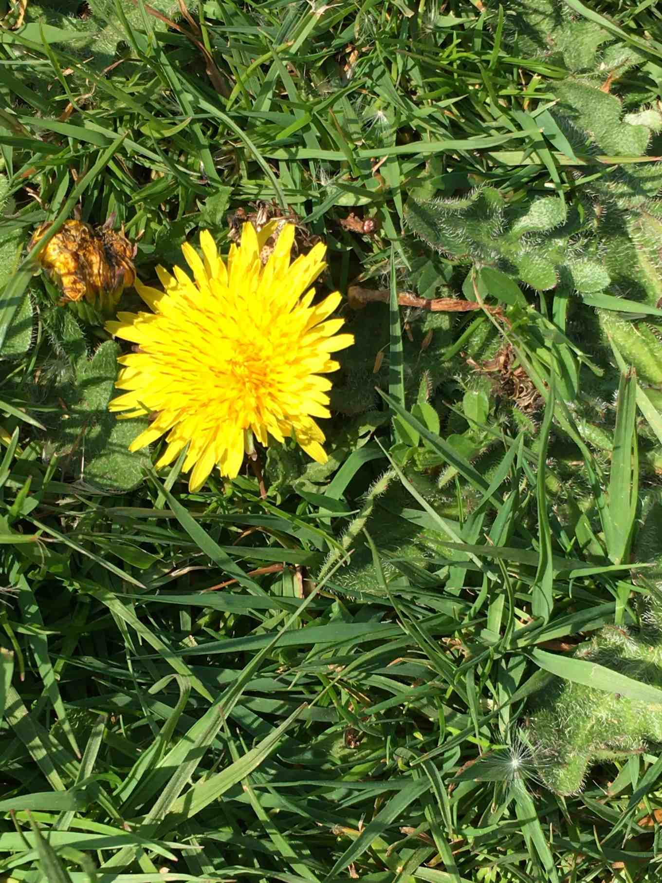bees love yellow flowers of dandelions in grass