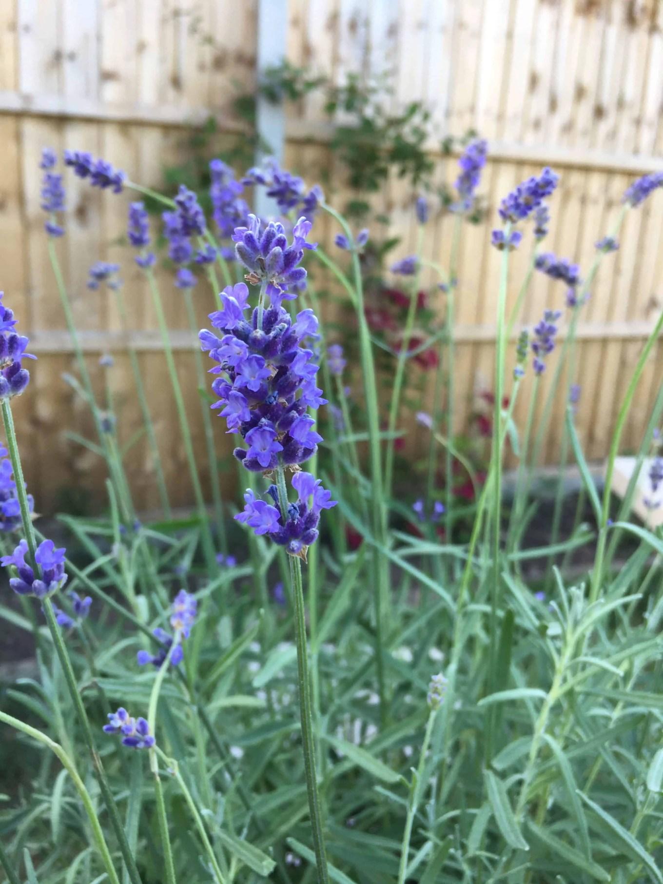 bees love lavender