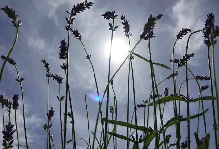 lavender with blue sky and sunshine behind it very aromatic summer nights