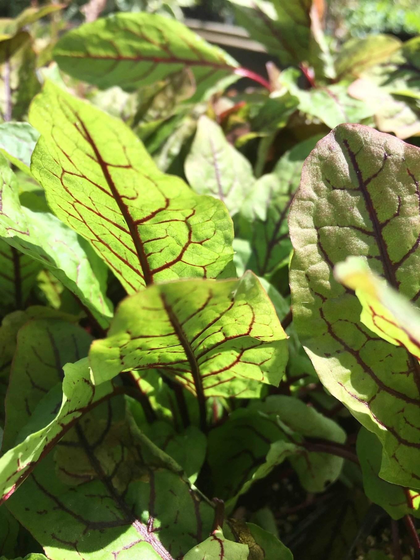 red vein sorrel in sunlight