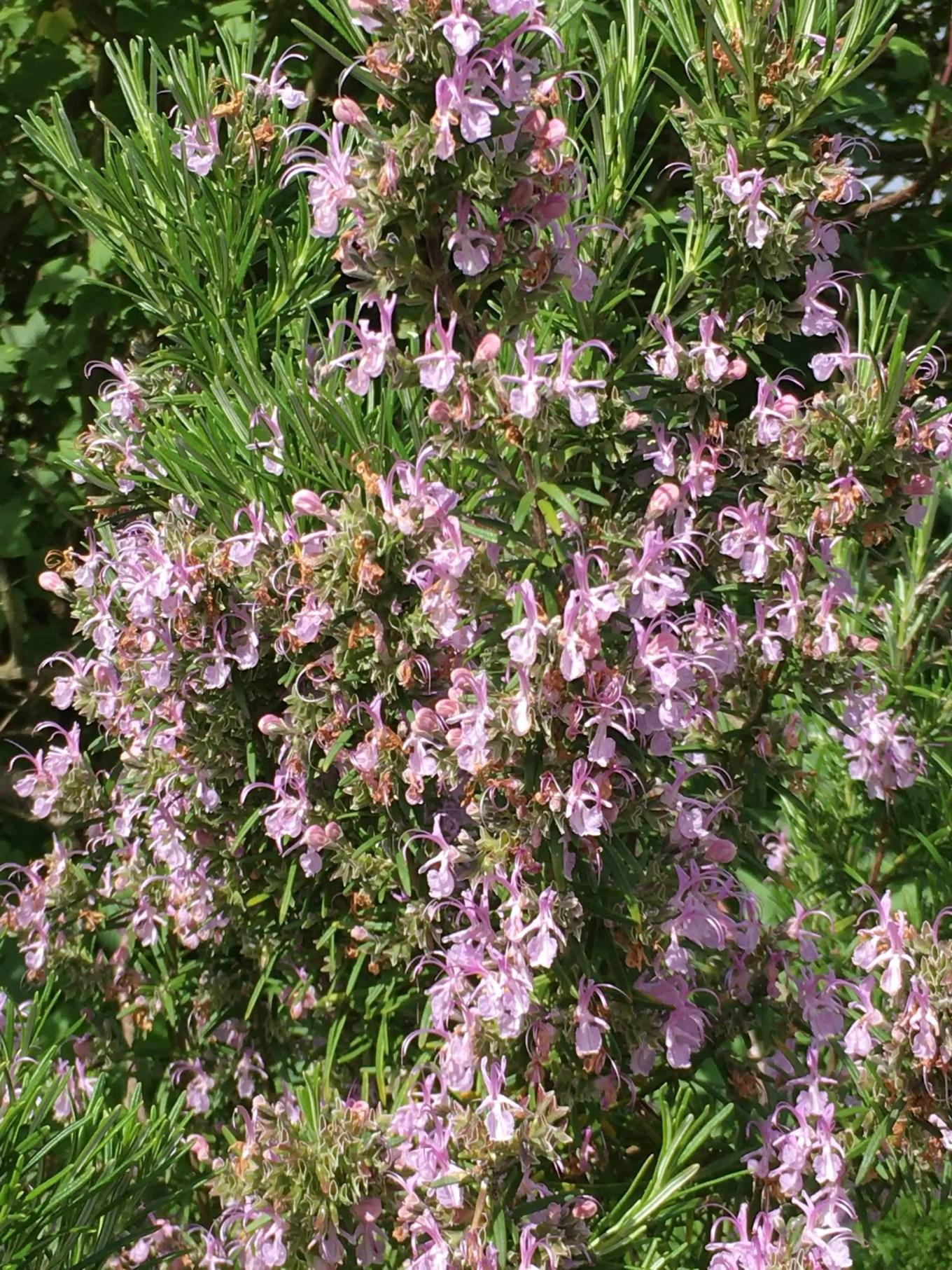 bees love flowering rosemary