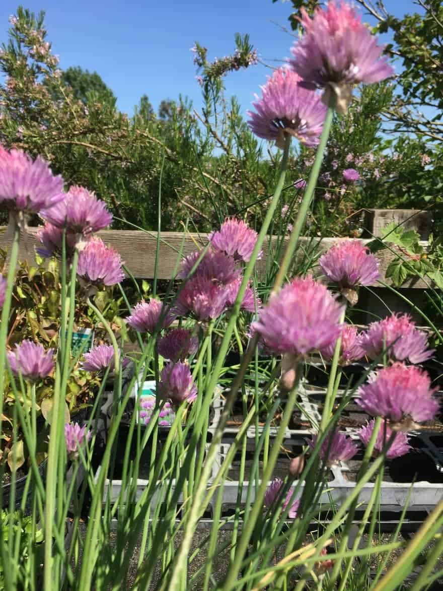 chives grown indoors moved outside in the sun with round purple flower heads