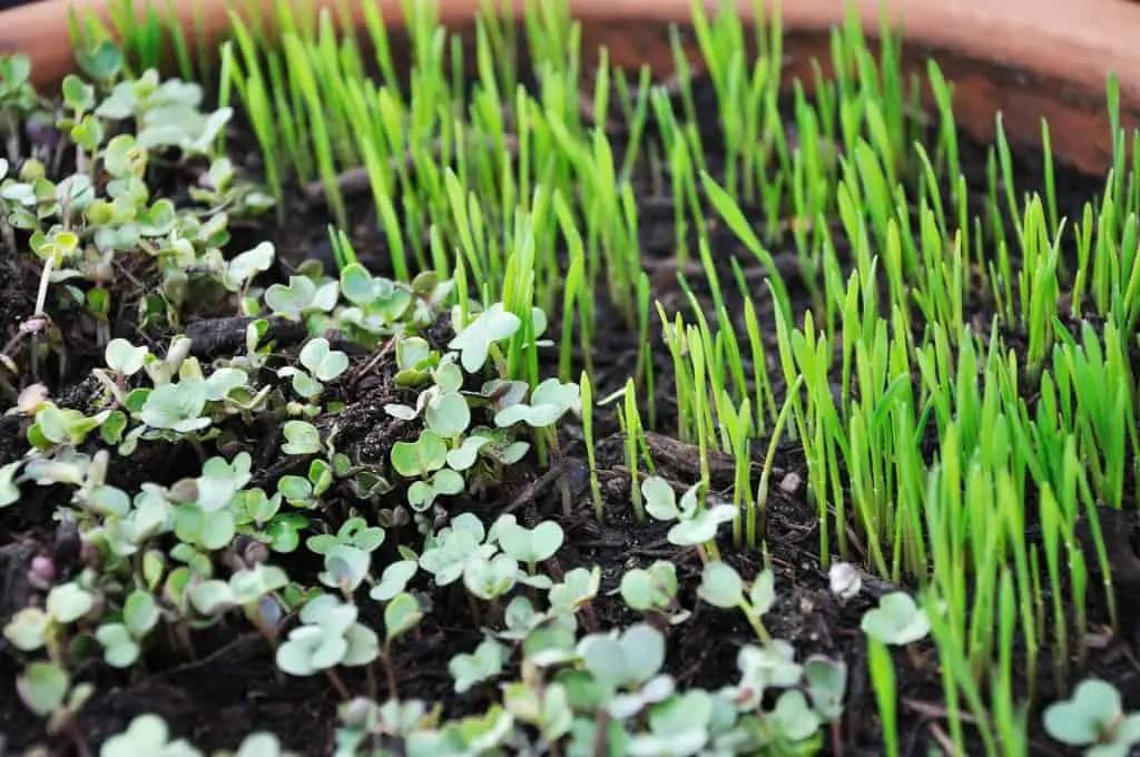 micro herb