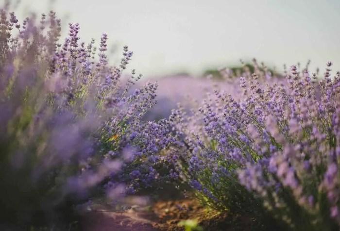 drought tolerant lavender