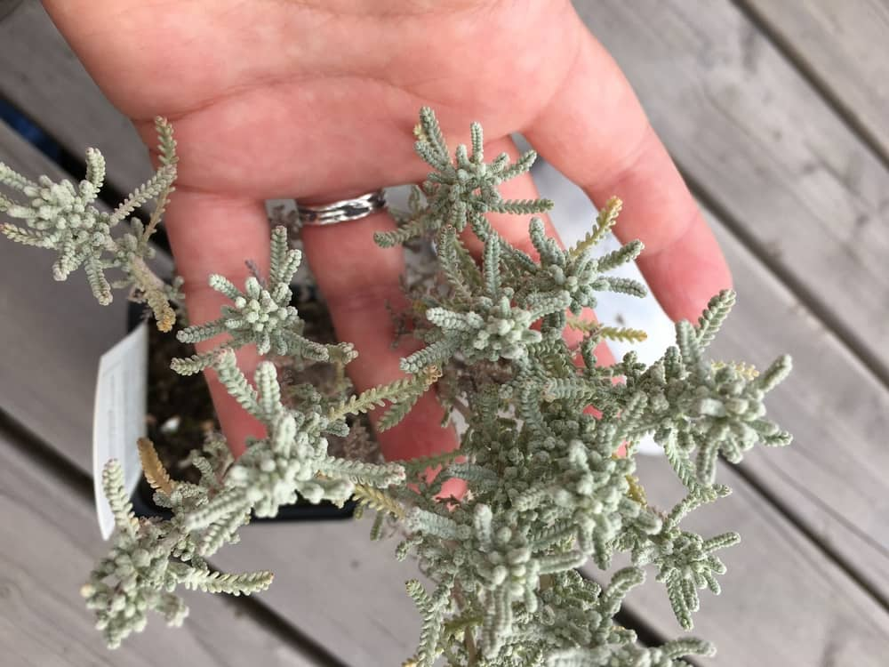 cotton lavender silver foliage and hand
