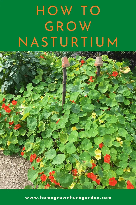Growing nasturtium
