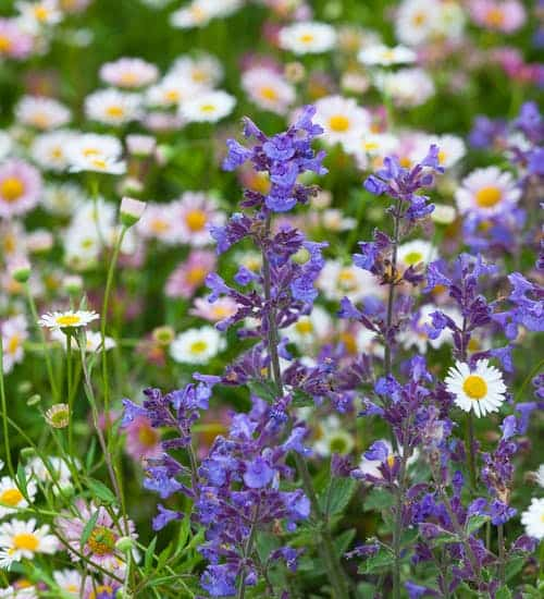 catmint from sarah raven