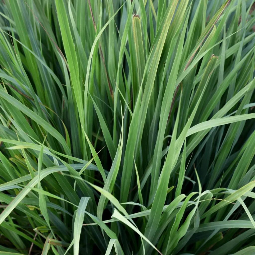 luscious lemongrass