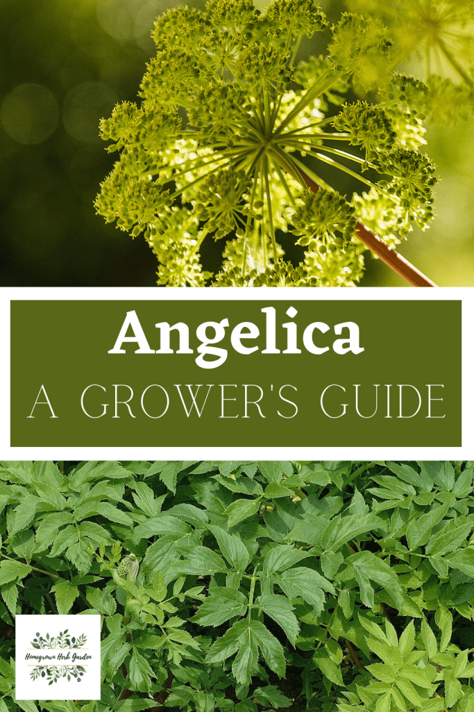 How To Grow Angelica