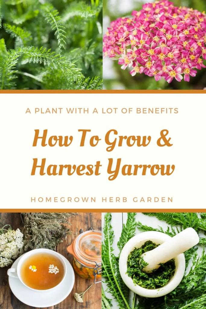 yarrow harvesting