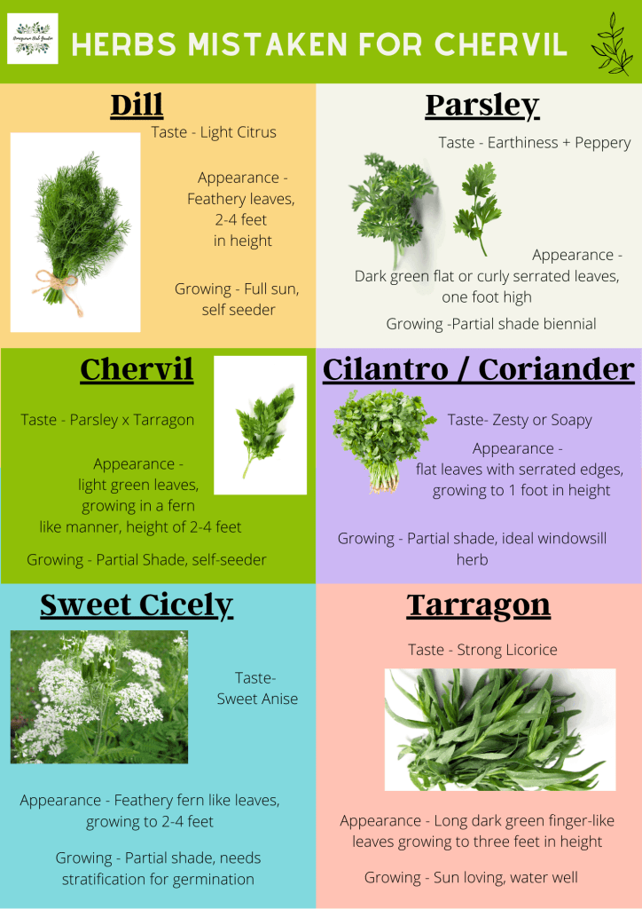 herbs mistaken for chervil. Comparing chervil with cilantro, dill, tarragon, parsley and sweet cicely