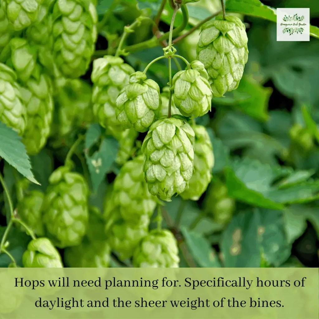 hops add interest to any garden trellis