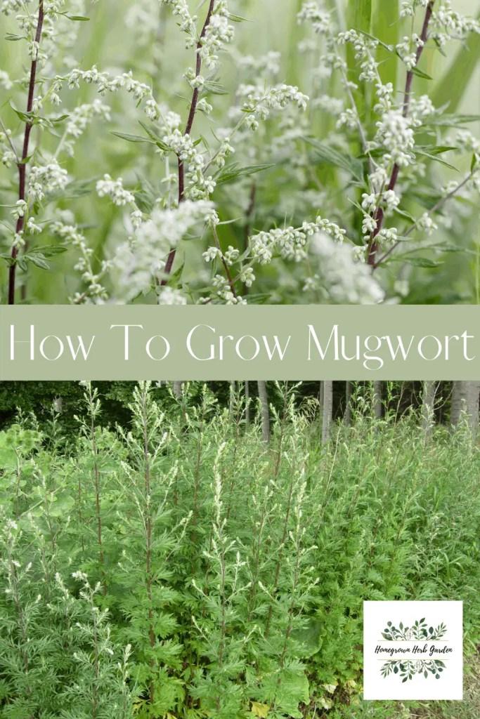 how to grow mugwort