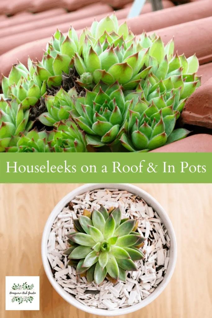 houseleeks grown on a roof