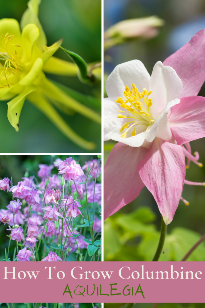 growing columbine aquilegia