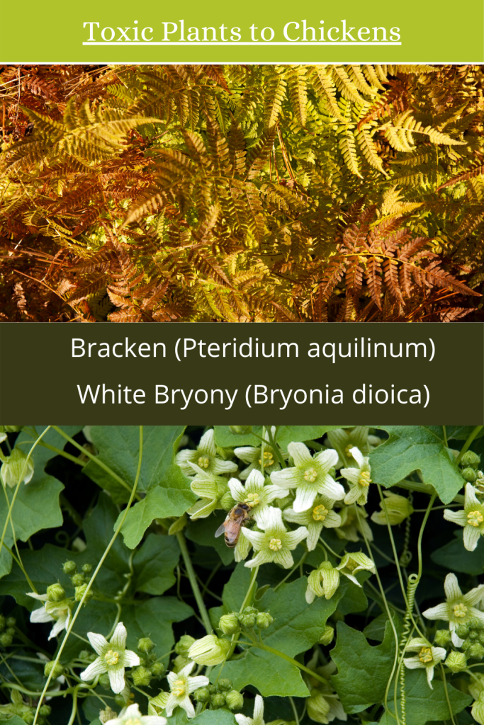 toxic plants to chickens bracken and bryony