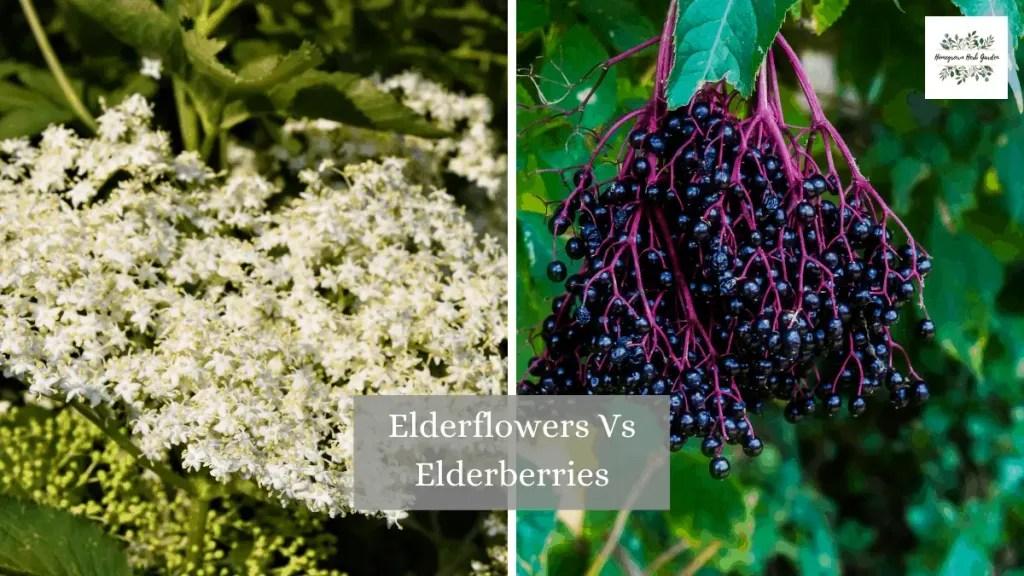 elderberry or elderflower