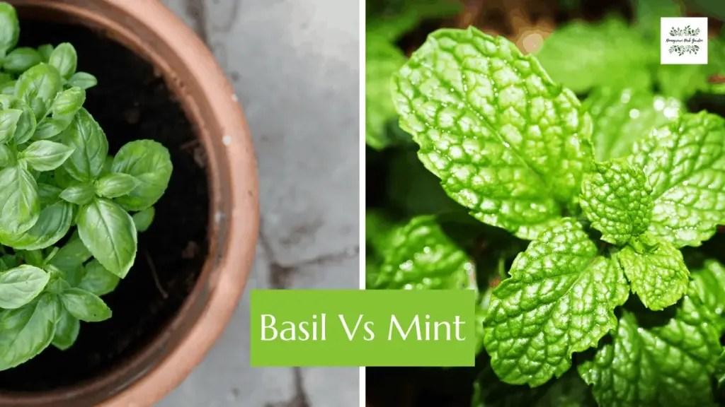 basil vs mint