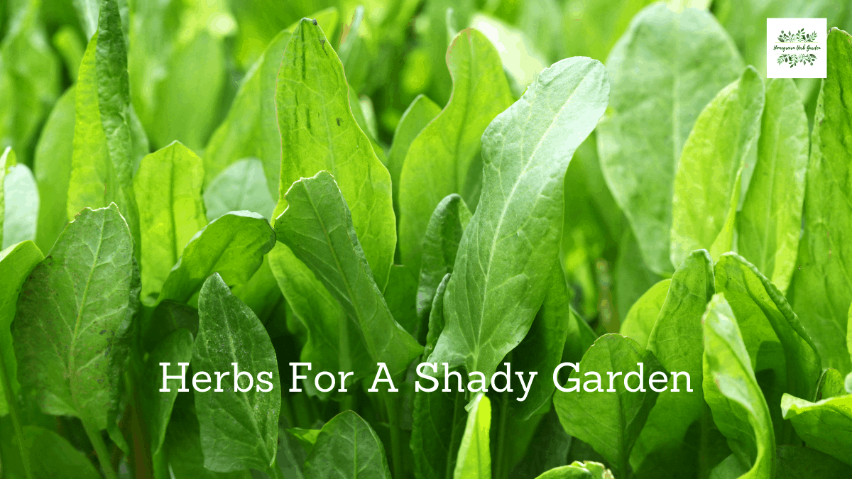 herbs to grow in the shade